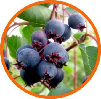 ИРГА - вкусная и очень полезная ягода.