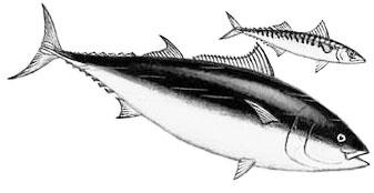 СКУМБРИЯ И ТУНЕЦ: полезные свойства и противопоказания скумбриевых рыб.